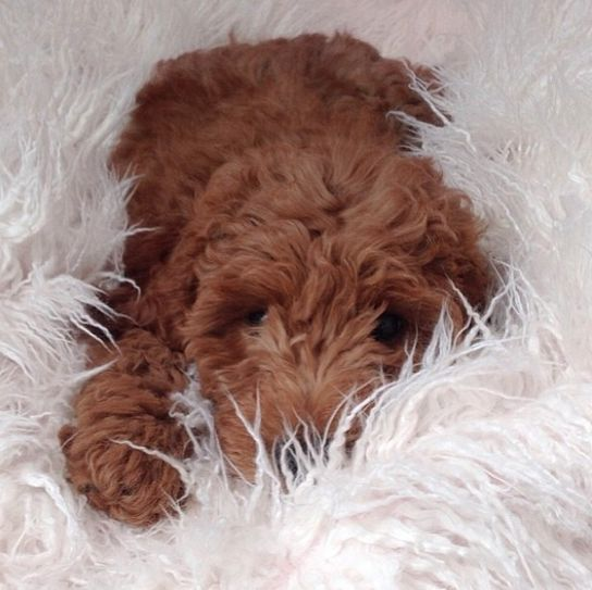 Dog Looks Like A Rug: 208 Best Clifford The Little Red Poodle Images On Pinterest