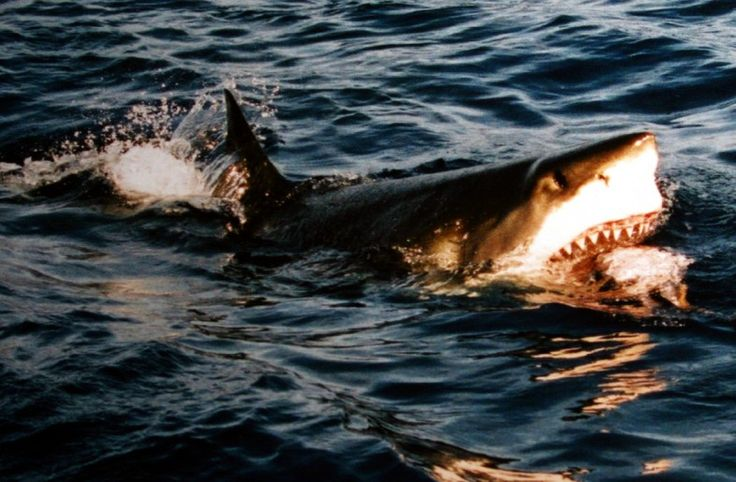 SCHEDULED TOUR: For the extremely adventurous among us, get the chance to dive with Great White Sharks. This trip takes place at Dyer Island, possibly the best place in the world to view these magnificent predators.