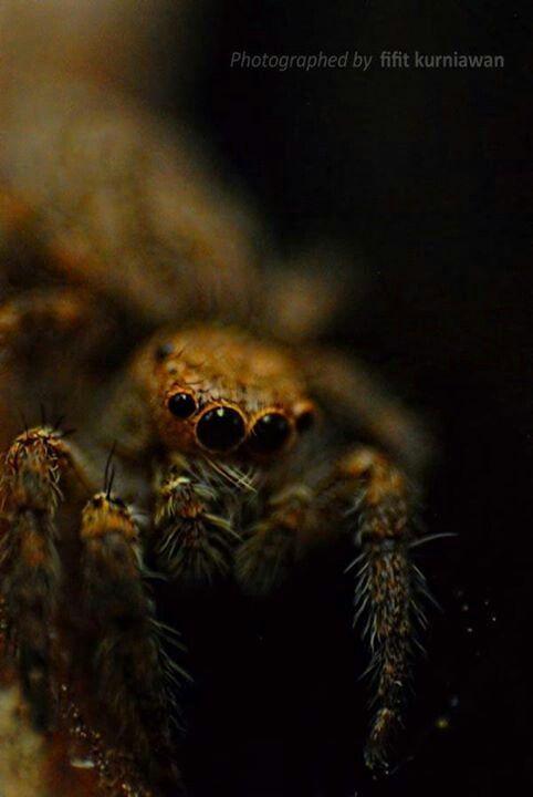 Spider Front Eye