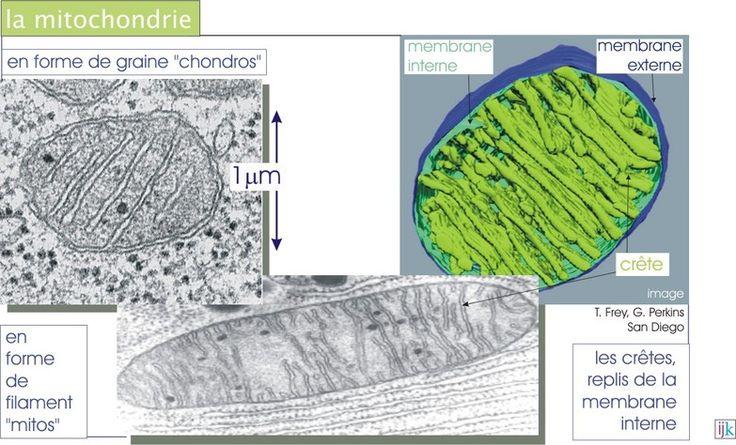 Les mitochondries sont des organites de forme ovoïde entourés par une double membrane. La membrane externe entoure entièrement la mitochondrie, tandis que la membrane interne se replie et forme des crêtes mitochondriales. Les mitochondries sont le siège de la respiration cellulaire (phosphorylation oxydative) : elles fournissent l'énergie (ATP, ADP,…) dont la cellule a besoin en oxydant le glucose. Les mitochondries sont capables de se reproduire car elles possèdent ADN, ARN et ribosomes.