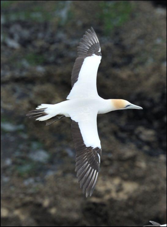 Australasian Gannet, Muriwai, New Zealand-a