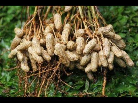 Cara Budidaya Kacang Tanah Organik Dengan Mudah