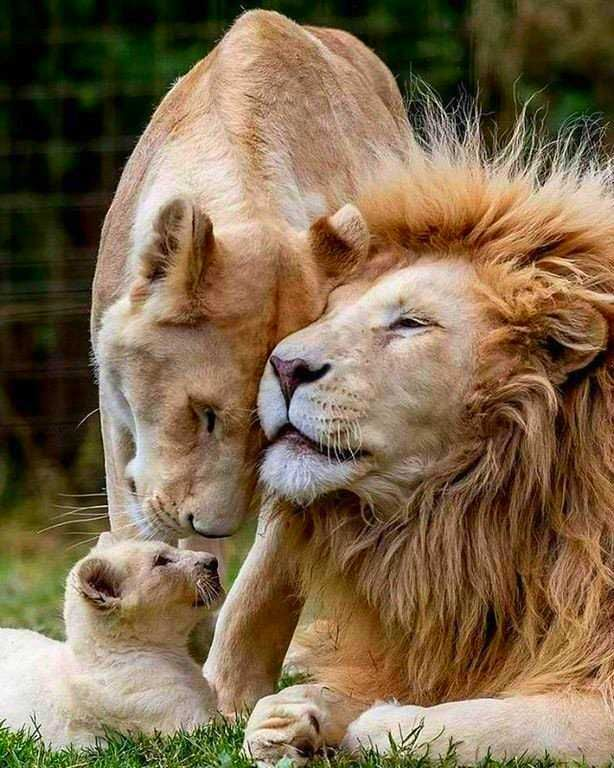 Big cat family #nature #animals #bigcats #family #lions
