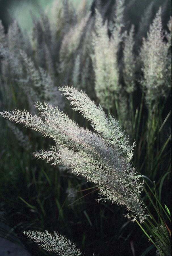 """The use of light to define the """"blossoms"""" of grass. Calamagrostis brachytricha ' Korean Feather Grass'"""