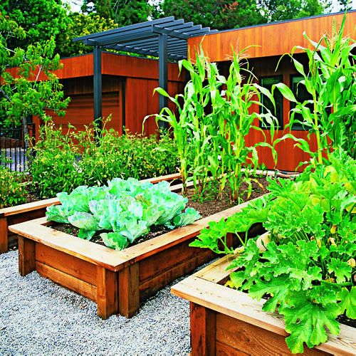 Raised redwood beds neatly frame the silvery blue foliage of cauliflower (left), deeply lobed leaves of zucchini squash (front right), and towering cornstalks.