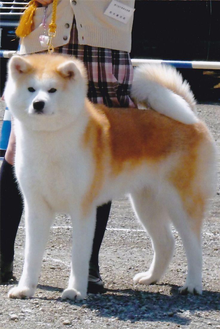 藤の辻 歴代秋田犬保存会名誉章犬