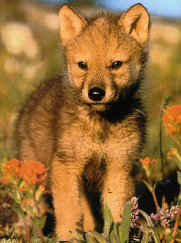 Baby Wolves | baby wolf | Zeller @ Ashe County Middle School