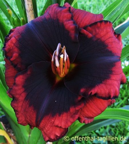 Daylily Broadway Last Mohican | Bild 'Broadway Last Mohican'