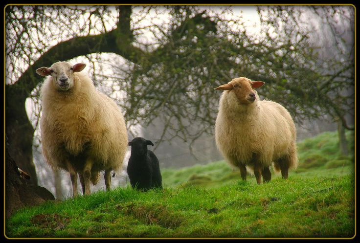 Schafe in Weiershagen - sheep