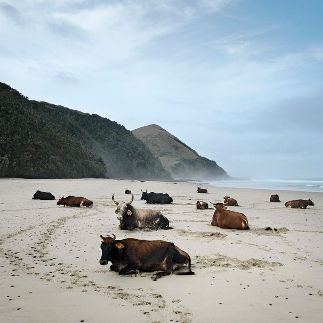 Daniel Naudé - Xhosa cattle on the shore, Mgazi, Eastern Cape