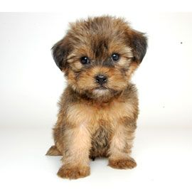 """Shorkie: shitzu+yorki """"I own a pair of sisters who are the light of our home, highly recommend as a family pet""""."""
