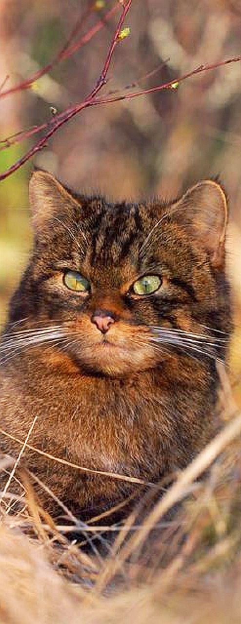 AMAZING SCOTTISH WILDCAT   #cat cats wildlife wildness kitty kitten animal pet fur fluffy cute adorable nature