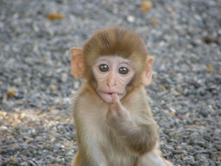 Yonkers Honda Service Rhesus+Macaque Rhesus macaque baby Macaque Baby, Rhesus Macaque, Baby ...