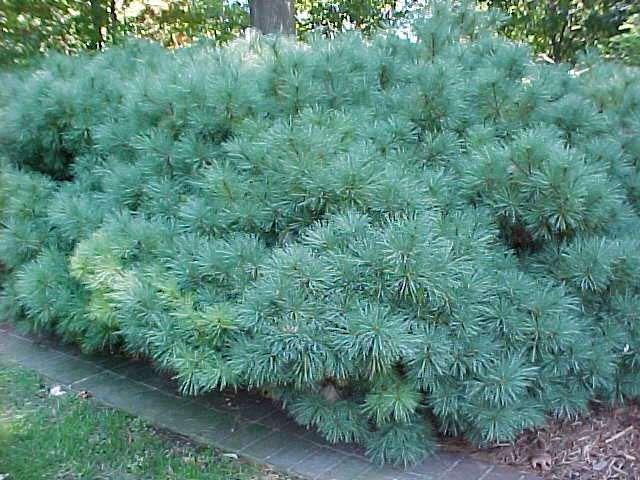 206 best evergreens for small yards images on pinterest. Black Bedroom Furniture Sets. Home Design Ideas