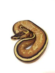 Super Stripe Ball Python- Female