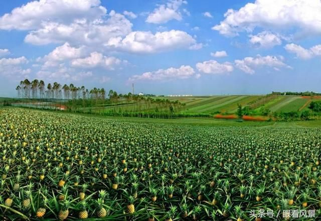 "17ef0005278aa045eb13 (640×441) ""菠萝的海""Pineapple farm——2016年广东湛江徐闻县Guangdong"