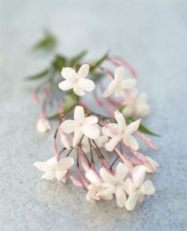 Fresh jasmine flowers - a favorite of mine for cascading bouquets, corsages, and boutonnieres. Makes me think of warm summer nights in Savannah, GA.