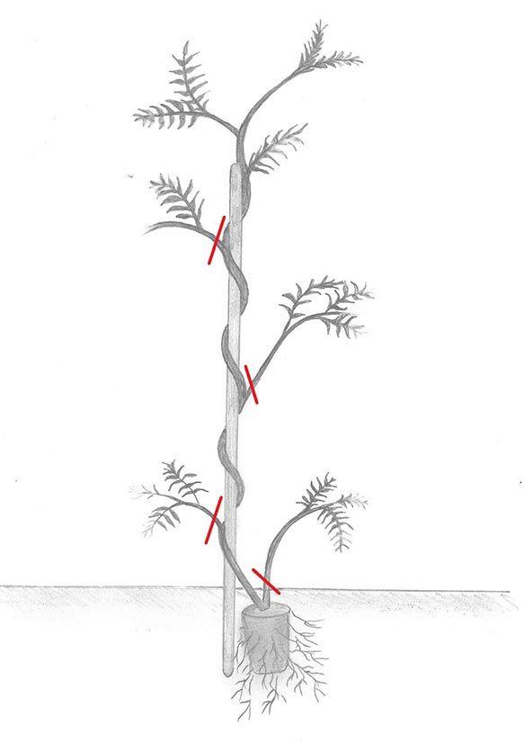 Les 25 meilleures id es de la cat gorie glycine sur pinterest glycines arbre en fleurs violet - Graine de glycine ...