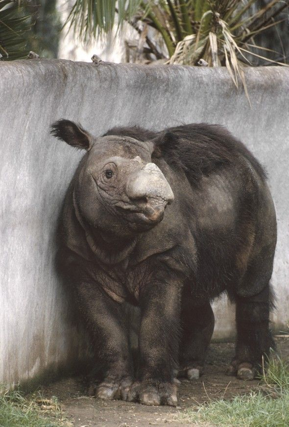 Sumatran rhinos are the smallest of the five rhino species and the only type covered with a coat of shaggy hair. | 25 Rhino Facts You Should Know