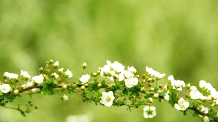 Скачать обои фокус, обои для рабочего стола, широкоформатные обои, широкоэкранные обои, обои, дерево, обои скачать бесплатно, зелень, заставки на рабочий стол, ветвь, скачать обои, цветение, ветки, цветочек, цветки, ветка, зеленый, цветочки, ветви, обои на рабочий стол, обои для рабочего стола бесплатно, лучшие обои для рабочего стола, hd обои, hd wallpapers, заставки для рабочего стола, раздел макро в разрешении 1366x768
