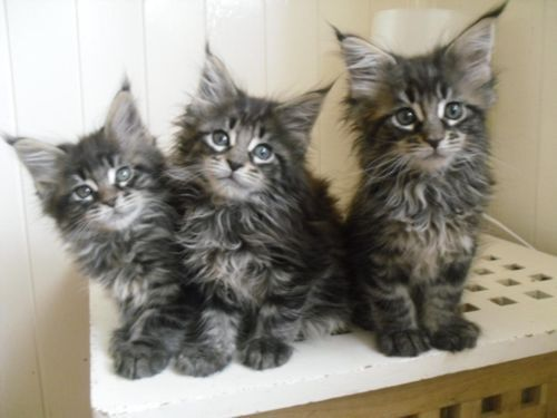 maine coon Cats & kittens For Sale in Boston| eBay Classifieds ...
