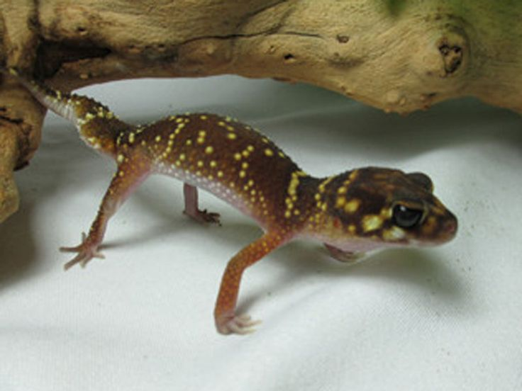 Thick Tail Gecko