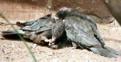 Greater Vasa Parrots