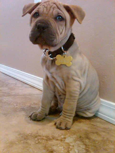 Shar-pei Pit bull mix ooohh the wrinkles my next dog is going to be a shar pei mix!