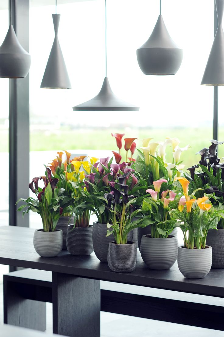 Die grauen Töpfe schaffen einen eindrucksvollen Kontrast zu der Calla und lassen sie somit noch mehr strahlen #calla #pflanze #pflanzenfreude