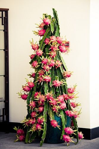 Pitaya / Dragon fruit [Hylocereus undatus] plant loaded with ripe fruits