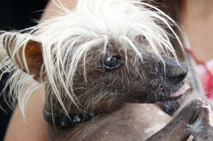 Spam-O-Rama, a Chinese Crested pedigree dog, waits for his moment on stage.