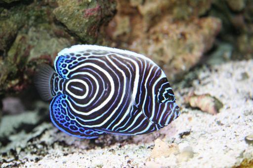 Poisson ange de mer imperator juvénile en Mer Rouge
