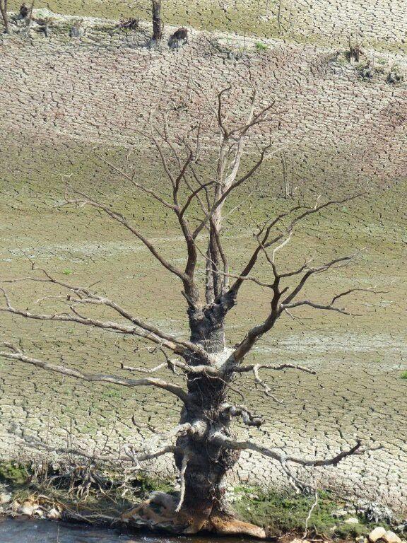 Arbre mort - fond du lac de Guerlédan asséché
