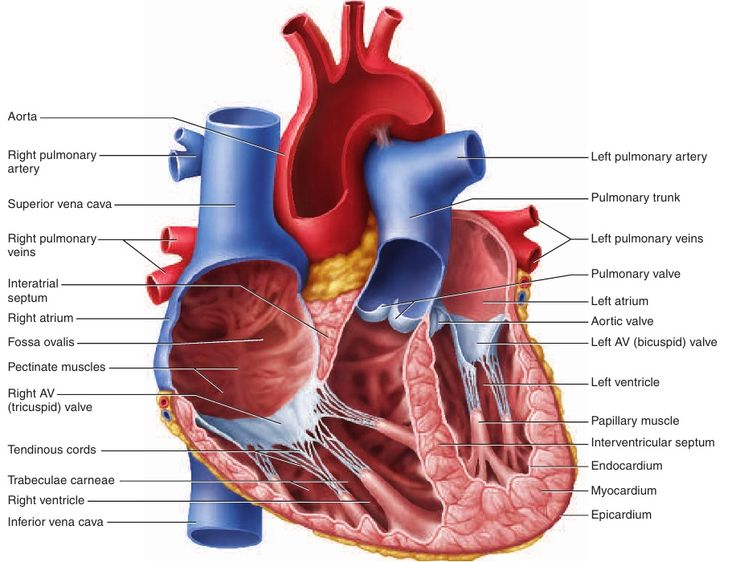 9 best images about heart on pinterest | heart, heart diagram and, Muscles