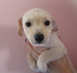 chihuahua terrier mix, I'm thinking this is what my Rico looked like when he was a pup, I wish I had him when he was a puppy :(