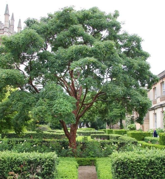 64 best images about ornamental trees for zone 4 5 on for Small to medium trees for garden