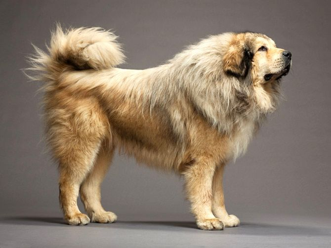 The Tibetan mastiff is a purebred dog that was originally bred to be a guard dog for property and livestock. Description from dog-learn.com. I searched for this on bing.com/images