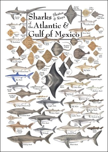 Sharks, Skates, and Rays of the Atlantic and Gulf of Mexico Poster