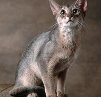 Abyssinian (blue): Cats Cats Kits Kits, Kitty Cat, Breeds Profile, Abyssinian Blue, Abyssinian Cats, Abyssinian Personalized, Cat Breeds, Animal Breeds