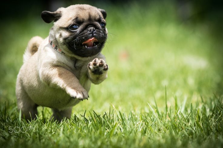 Runny Puggy - The joy of running on grass for the first time makes this one very happy puggy pug!