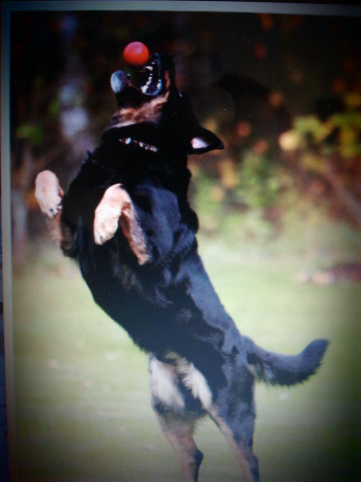 pies skacze za piłką http://www.szkola-doberman.pl/szkolenie-psow/pies-skacze-na-gosci-a-ty-co/