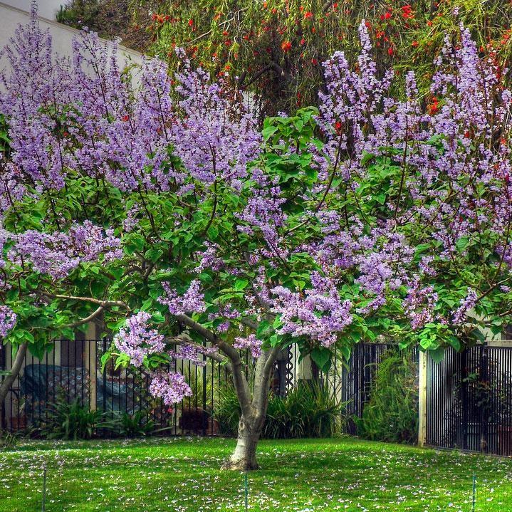 Bloomerang Lilac Tree Lilac Tree Bloomerang Lilac Lilac Gardening
