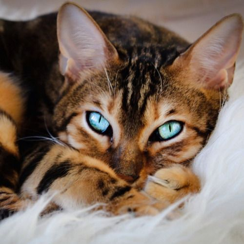 snow bengal cat photography - Google Search