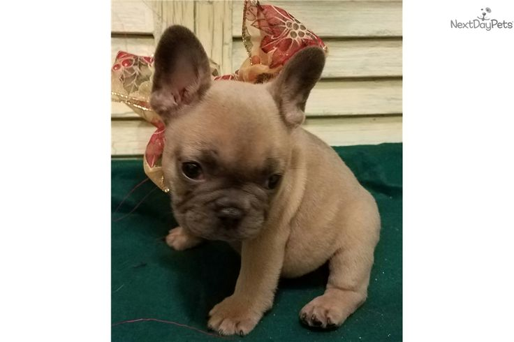 French Bulldog puppy for sale near Houston, Texas | 1660e784-4991