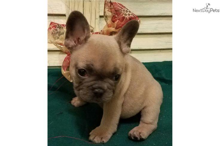 French Bulldog puppy for sale near Houston, Texas | 1660e784-4991