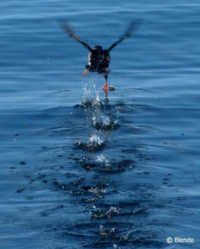 © Blende, Edda Grönhoff, Es ist möglich! | Offenbar ist es doch möglich, über Wasser zu gehen. Der kleine Papageitaucher braucht Anlauf, um vom Wasser aus aufzufliegen. Hierfür nimmt er Anlauf und rennt über das Wasser.