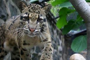 Clouded Leopard - Brandywine Zoo