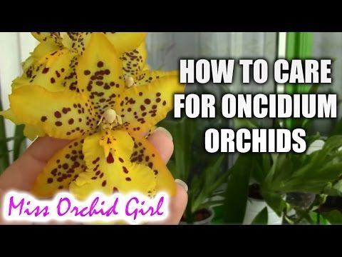 How to care for Oncidium Orchids and Intergenerics - watering, fertilizing, reblooming - YouTube