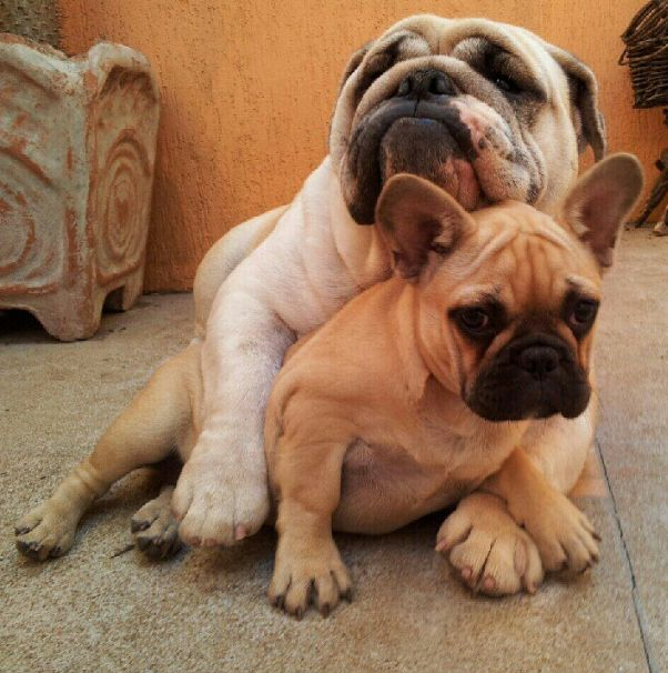 This Instagram Account (Full Of Bulldog Puppies) Will Revolutionize Your Life