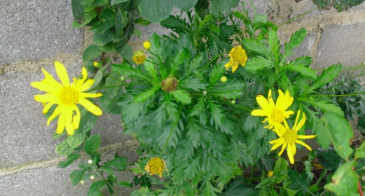 Crisântemos Amarelos | Preço por unidade: 0,60€ | Referência: F006 | Mais informações em: http://biokafs-agro.weebly.com/flores.html